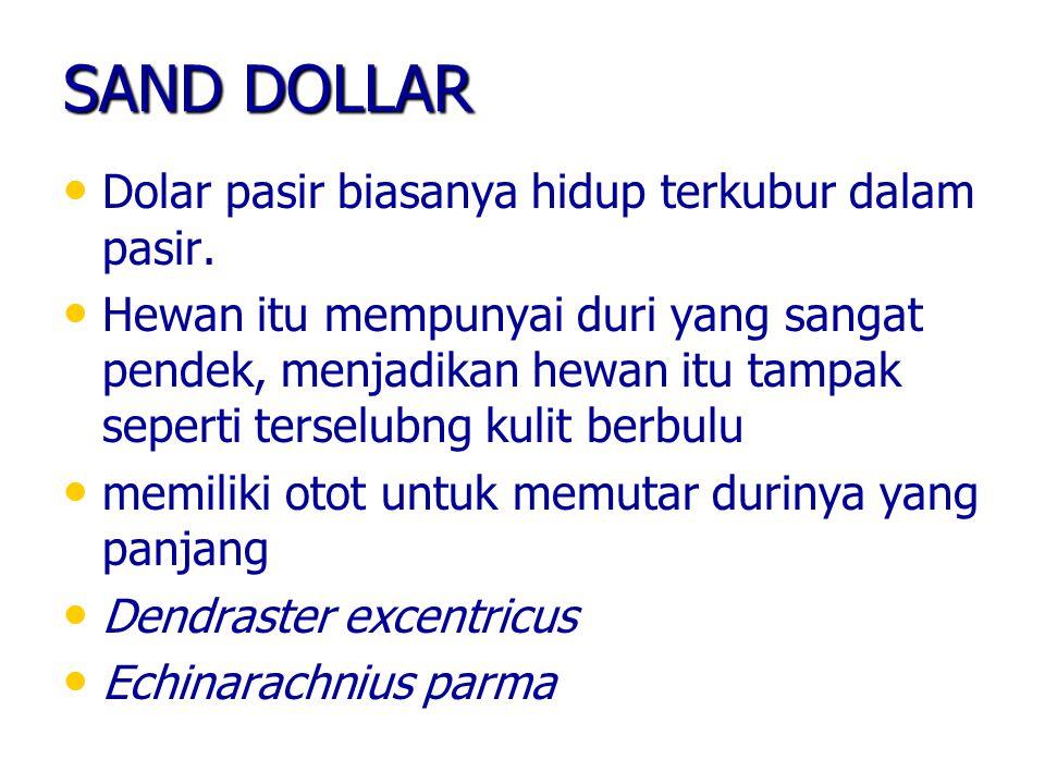SAND DOLLAR Dolar pasir biasanya hidup terkubur dalam pasir.