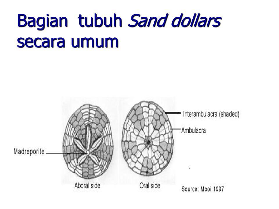 Bagian tubuh Sand dollars secara umum