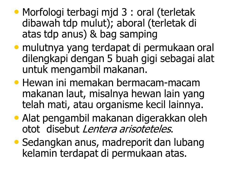 Morfologi terbagi mjd 3 : oral (terletak dibawah tdp mulut); aboral (terletak di atas tdp anus) & bag samping