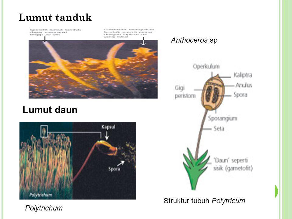 Lumut tanduk Lumut daun Anthoceros sp Struktur tubuh Polytricum