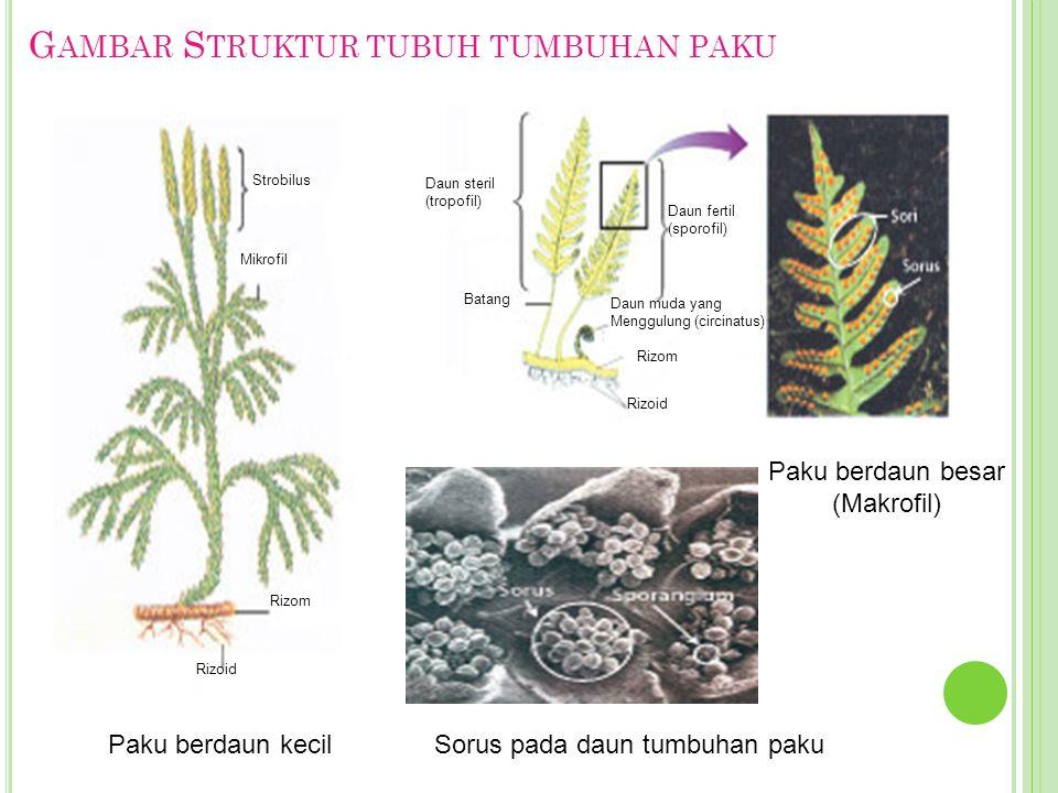 Gambar Struktur tubuh tumbuhan paku