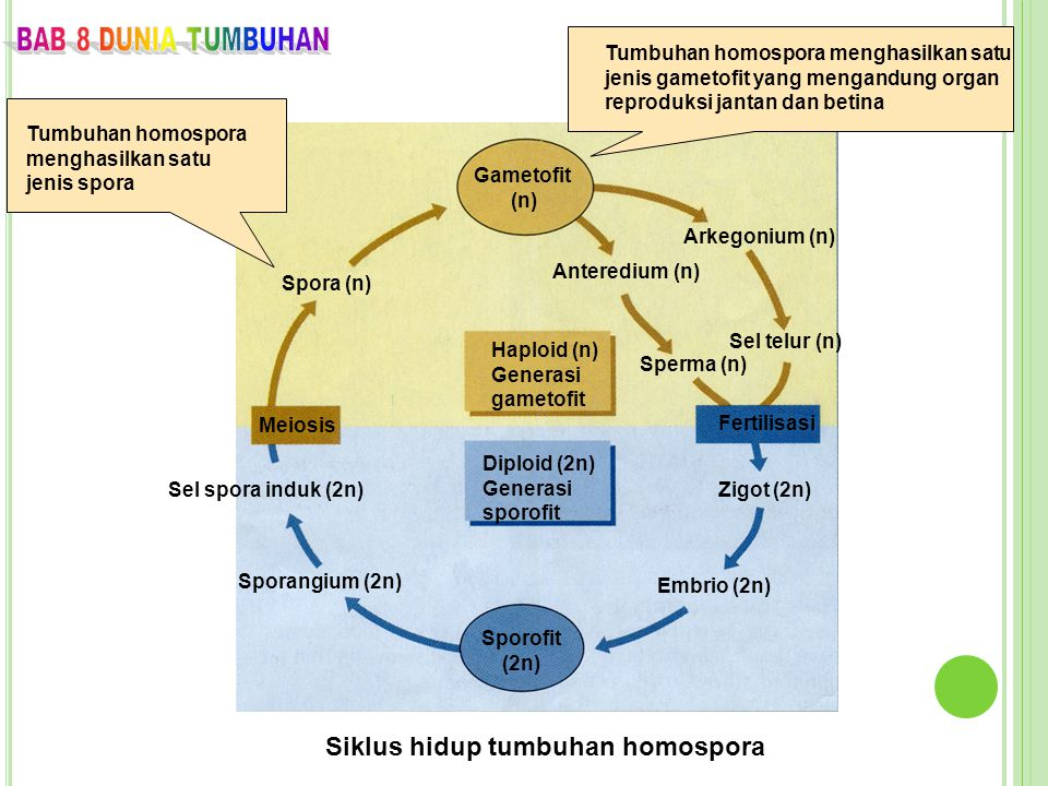 Siklus hidup tumbuhan homospora