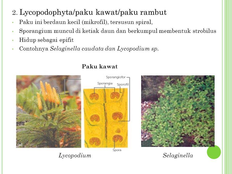 2. Lycopodophyta/paku kawat/paku rambut
