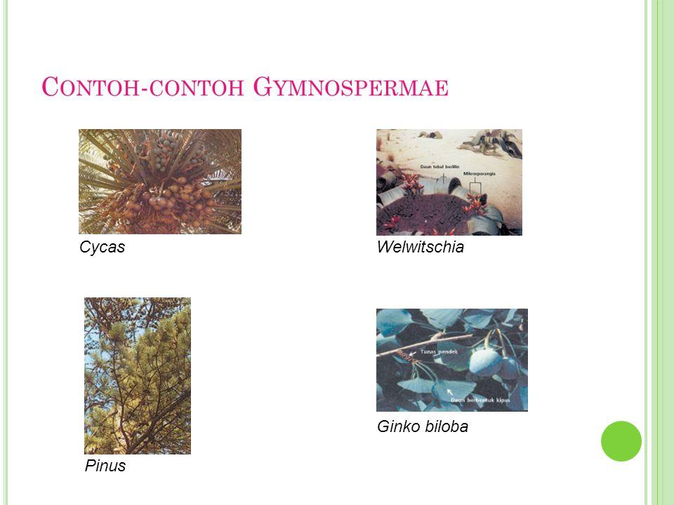Contoh-contoh Gymnospermae