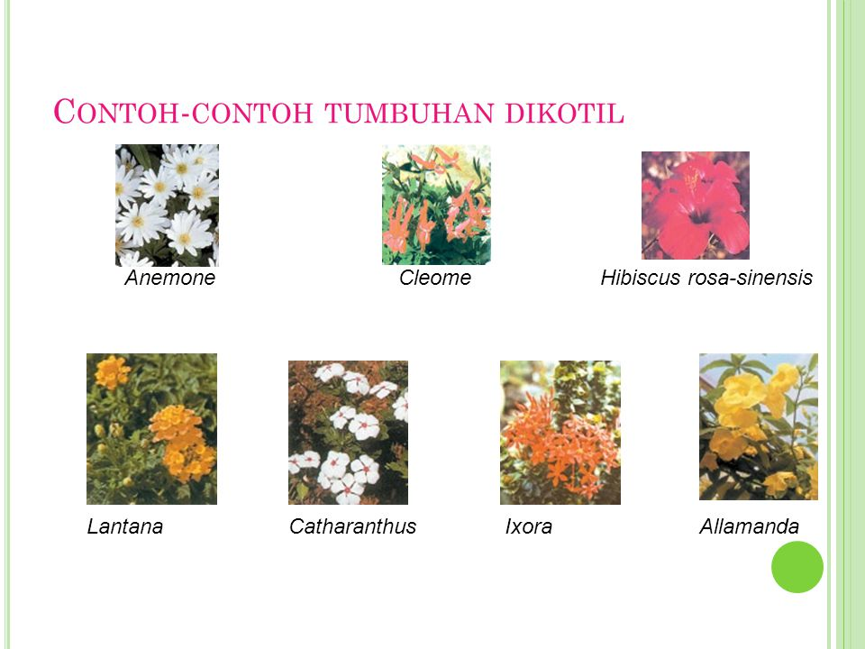Contoh-contoh tumbuhan dikotil