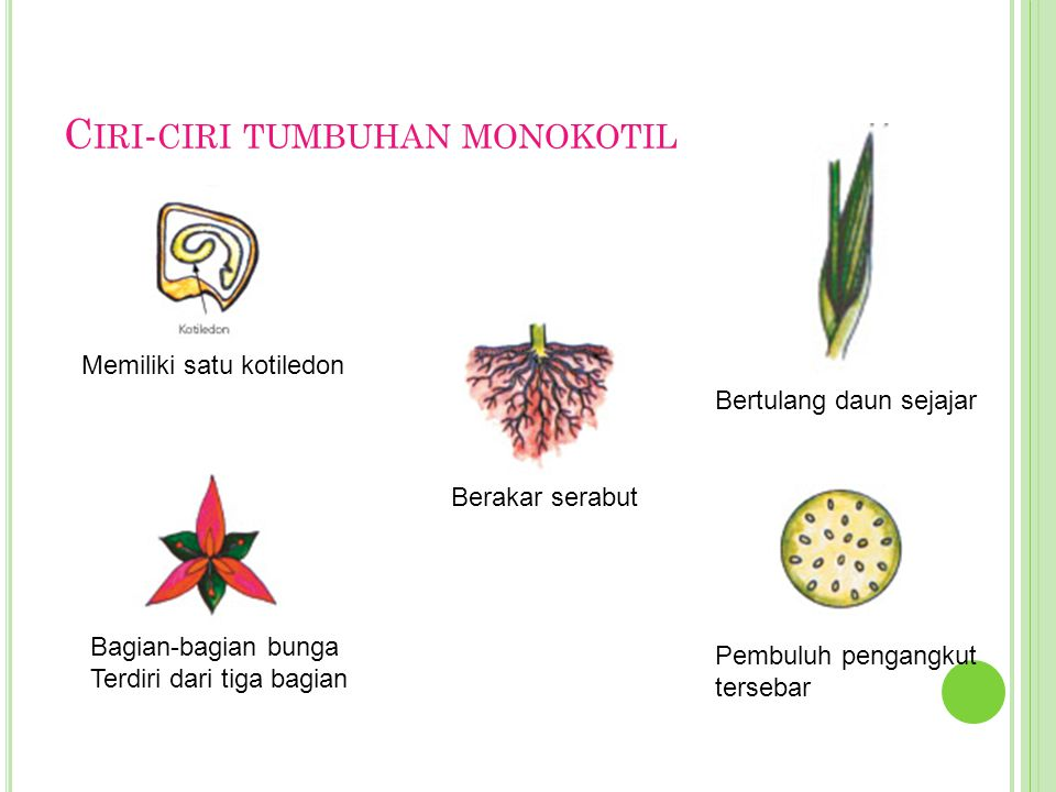 Ciri-ciri tumbuhan monokotil