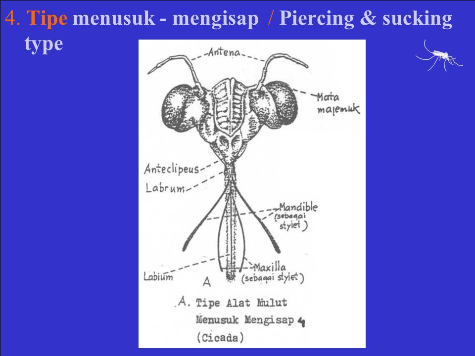 4. Tipe menusuk - mengisap / Piercing & sucking type