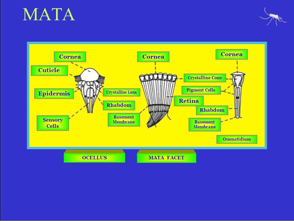 MATA Cornea Cornea Cornea Cuticle Epidermis Retina Rhabdom Rhabdom