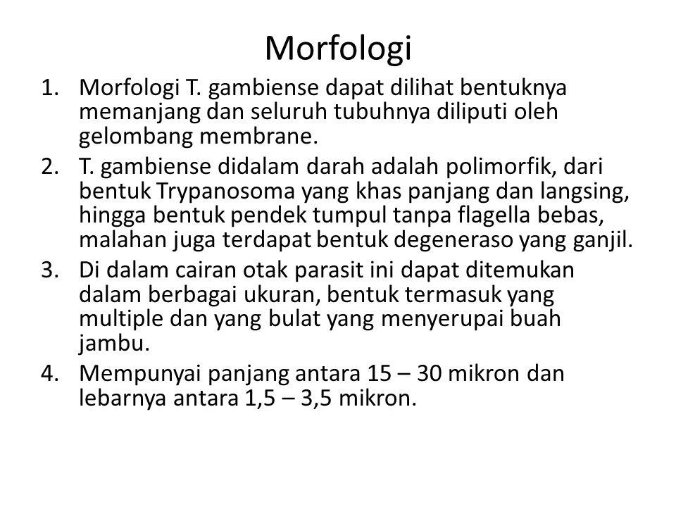 Morfologi Morfologi T. gambiense dapat dilihat bentuknya memanjang dan seluruh tubuhnya diliputi oleh gelombang membrane.