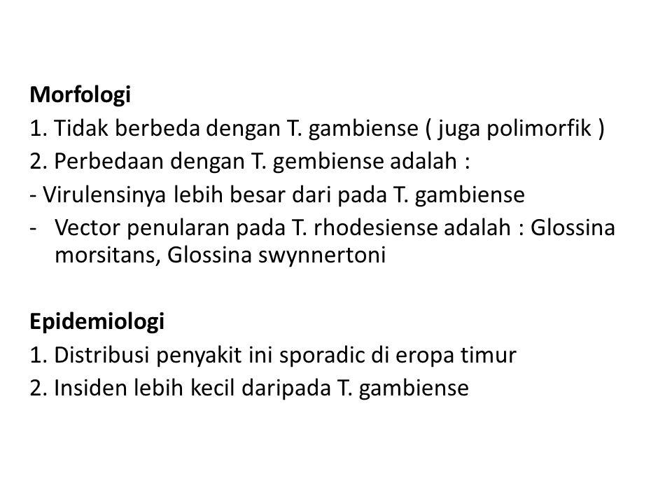 Morfologi 1. Tidak berbeda dengan T. gambiense ( juga polimorfik ) 2. Perbedaan dengan T. gembiense adalah :