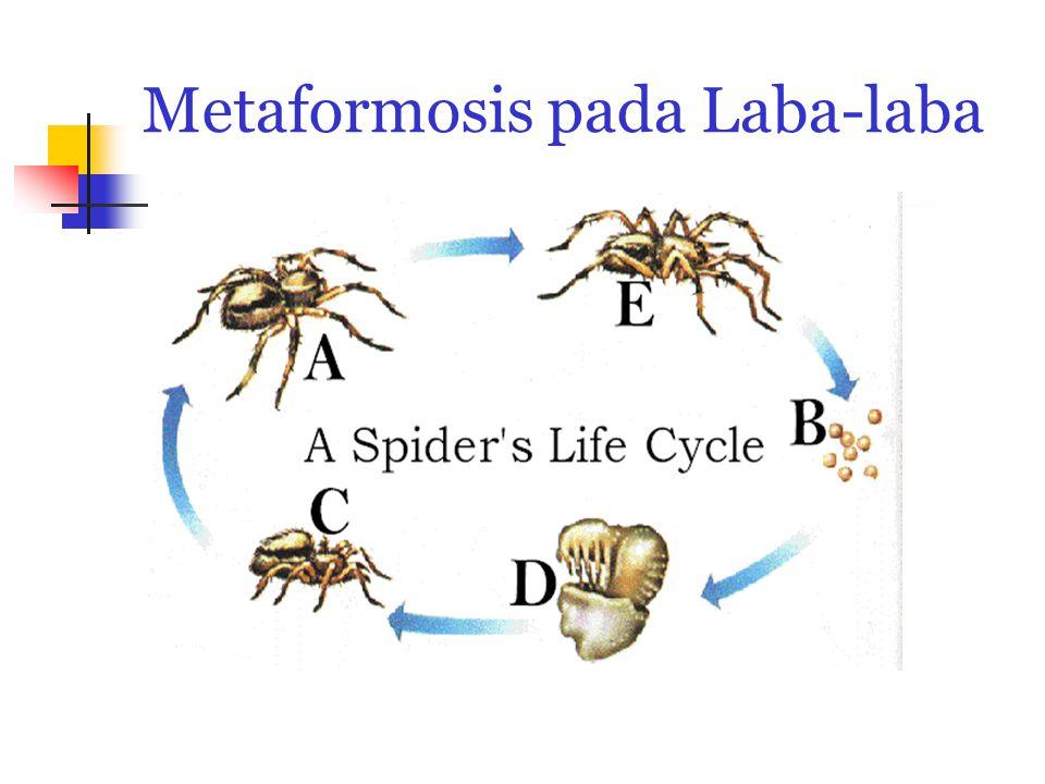 Metaformosis pada Laba-laba