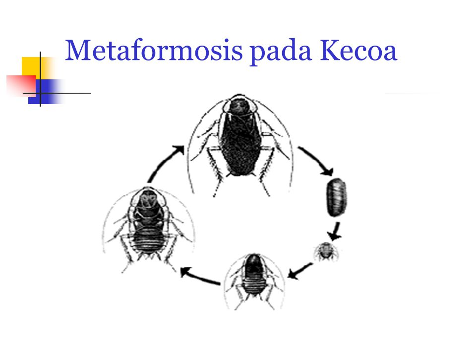 Metaformosis pada Kecoa