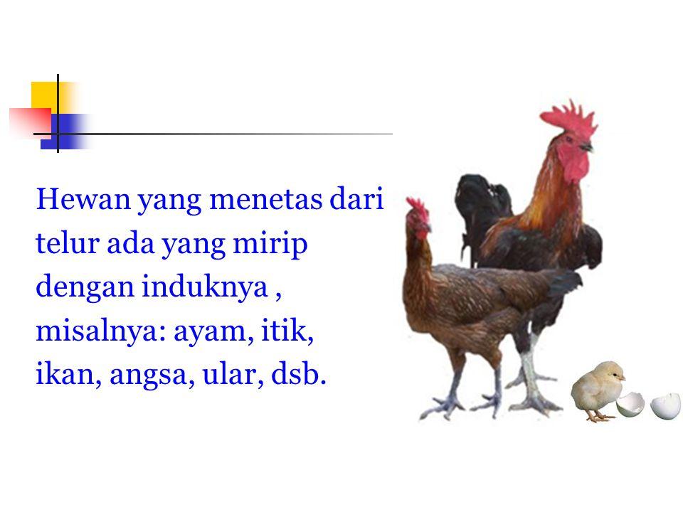 Hewan yang menetas dari telur ada yang mirip dengan induknya , misalnya: ayam, itik, ikan, angsa, ular, dsb.
