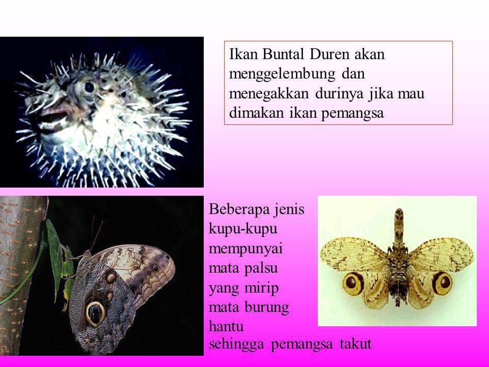 Ikan Buntal Duren akan menggelembung dan menegakkan durinya jika mau dimakan ikan pemangsa