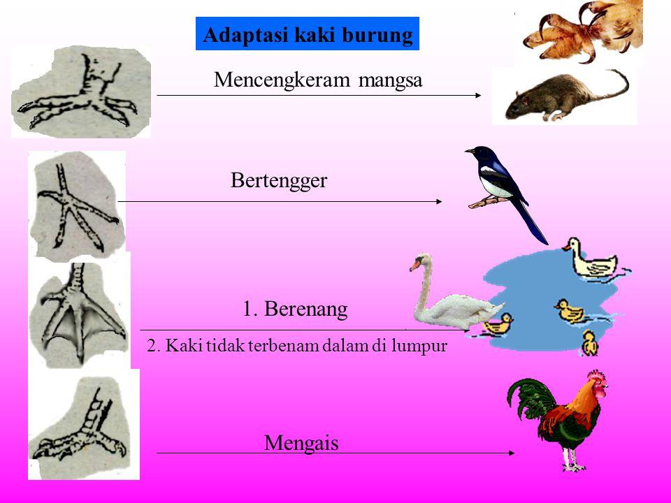 Adaptasi kaki burung Mencengkeram mangsa Bertengger 1. Berenang
