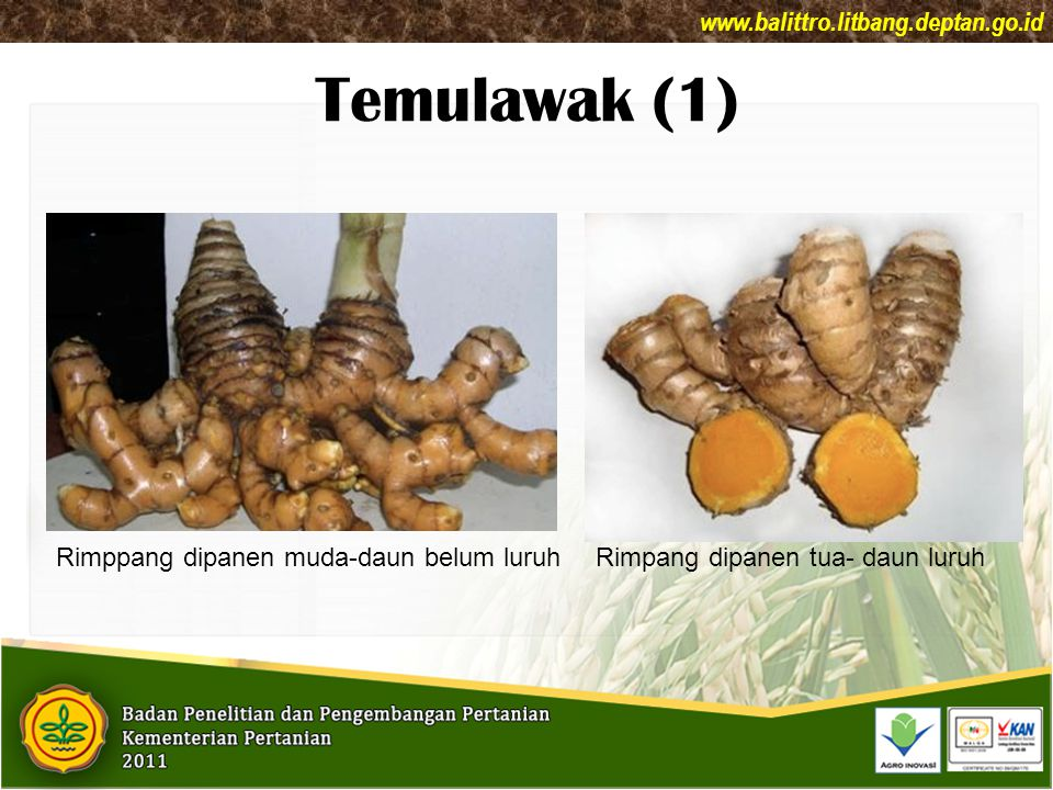 Temulawak (1) www.balittro.litbang.deptan.go.id