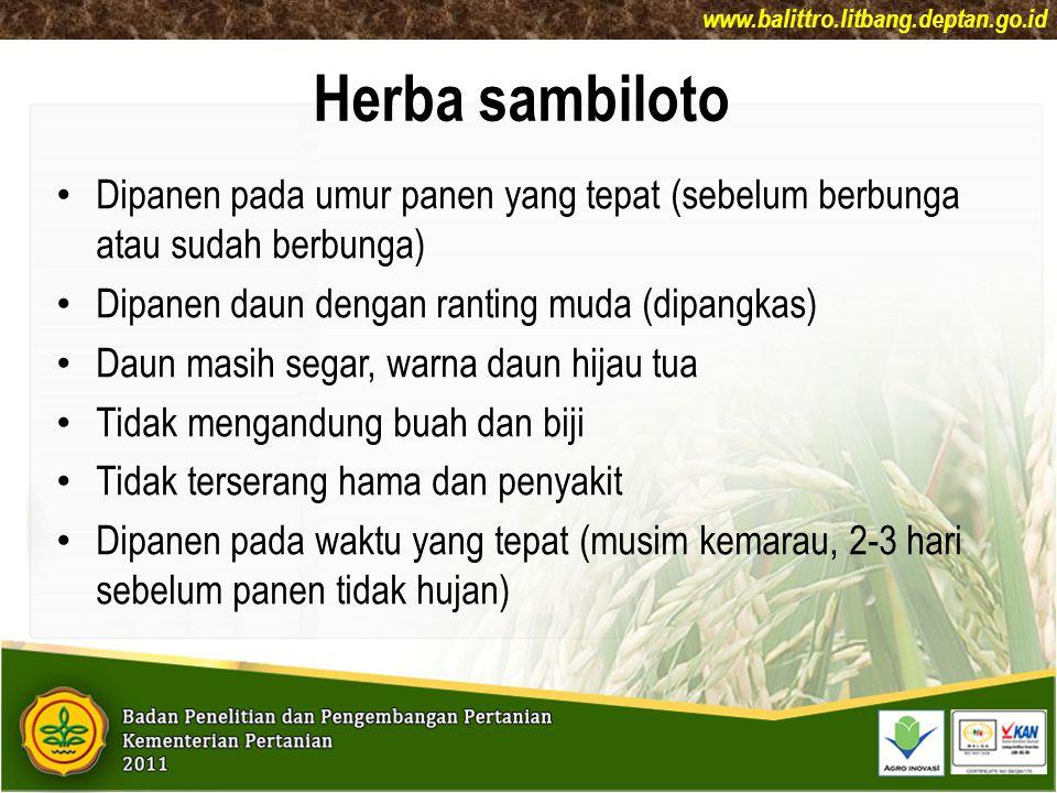 www.balittro.litbang.deptan.go.id Herba sambiloto. Dipanen pada umur panen yang tepat (sebelum berbunga atau sudah berbunga)