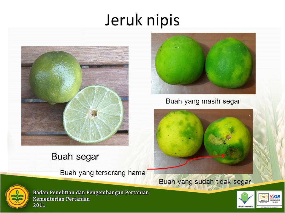 Jeruk nipis Buah segar Buah yang masih segar Buah yang terserang hama
