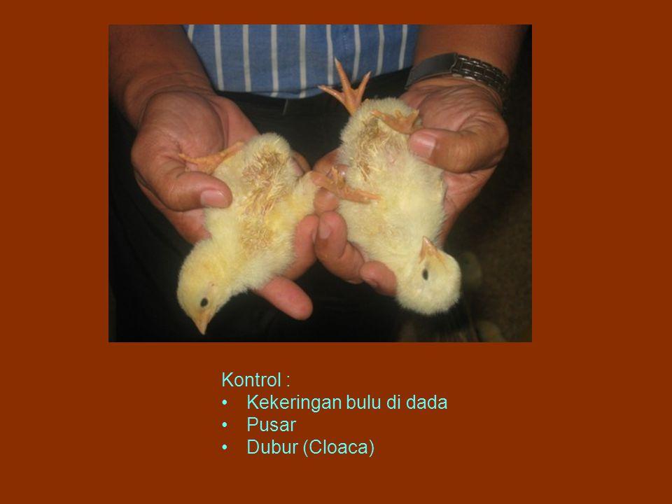 Kontrol : Kekeringan bulu di dada Pusar Dubur (Cloaca)