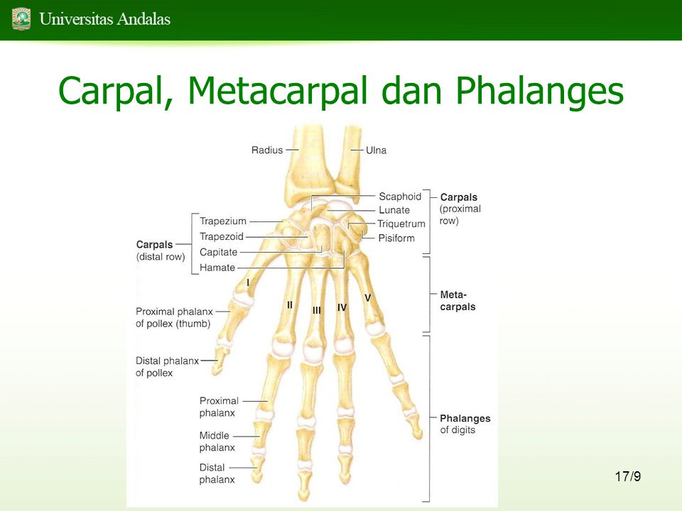 Carpal, Metacarpal dan Phalanges