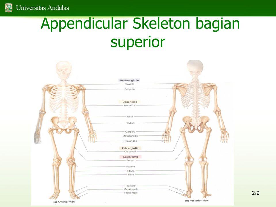 Appendicular Skeleton bagian superior