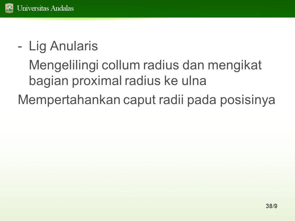 Lig Anularis Mengelilingi collum radius dan mengikat bagian proximal radius ke ulna.