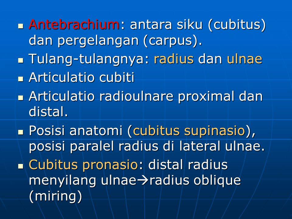 Antebrachium: antara siku (cubitus) dan pergelangan (carpus).
