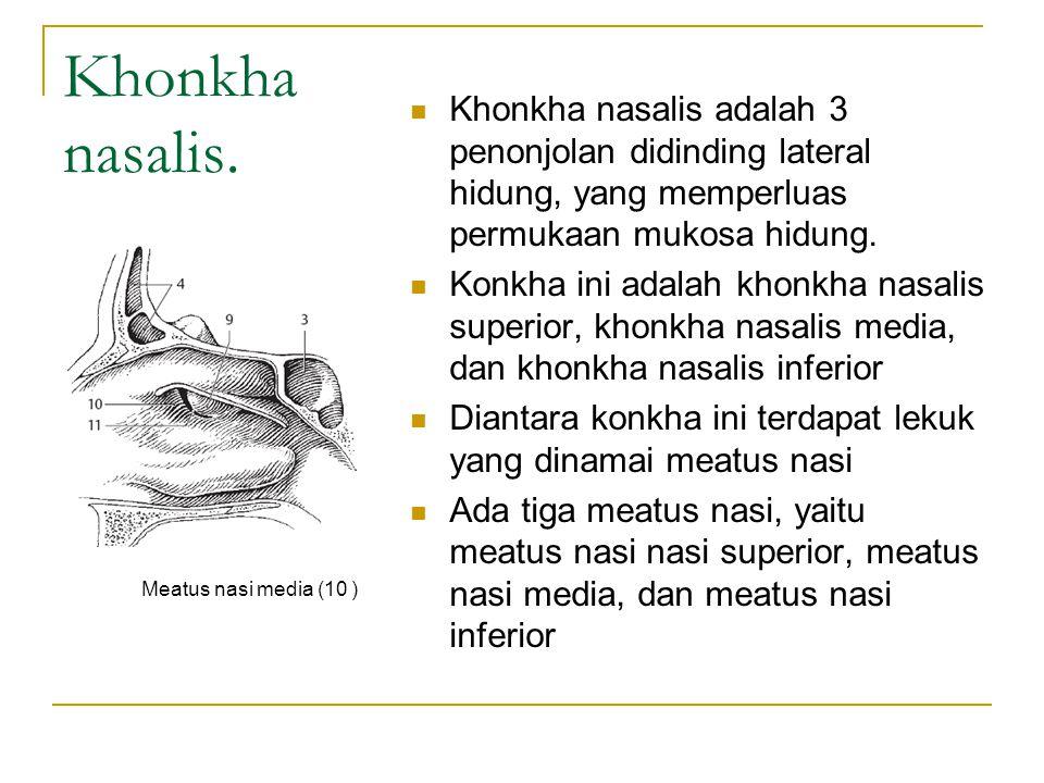 Khonkha nasalis. Khonkha nasalis adalah 3 penonjolan didinding lateral hidung, yang memperluas permukaan mukosa hidung.