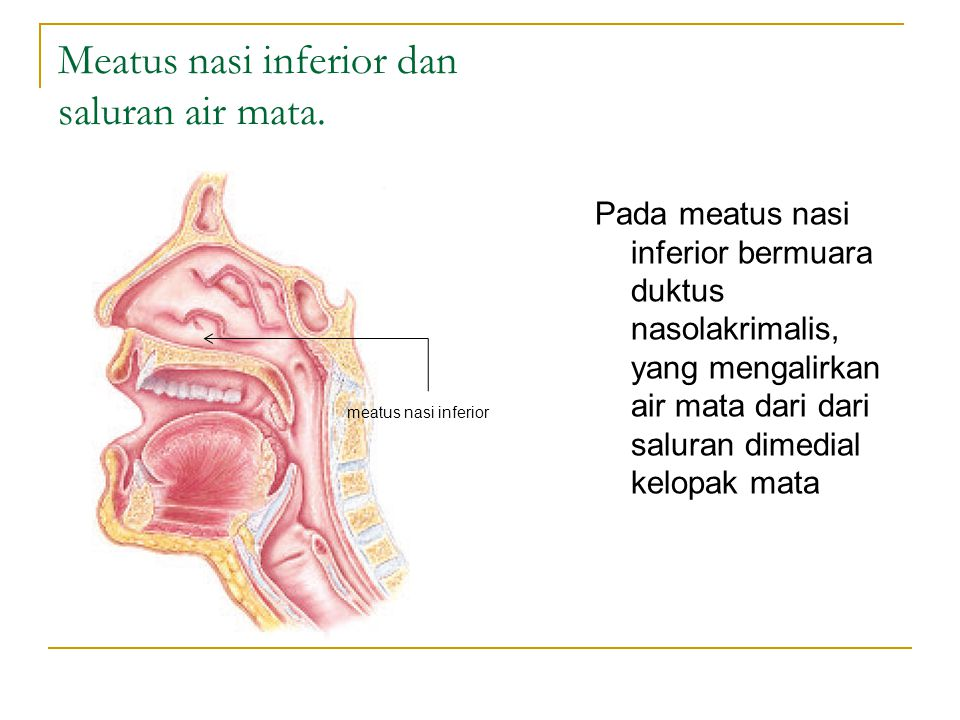 Meatus nasi inferior dan saluran air mata.