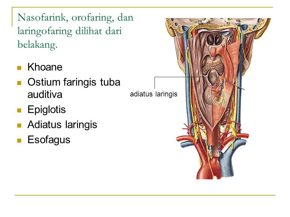 Nasofarink, orofaring, dan laringofaring dilihat dari belakang.