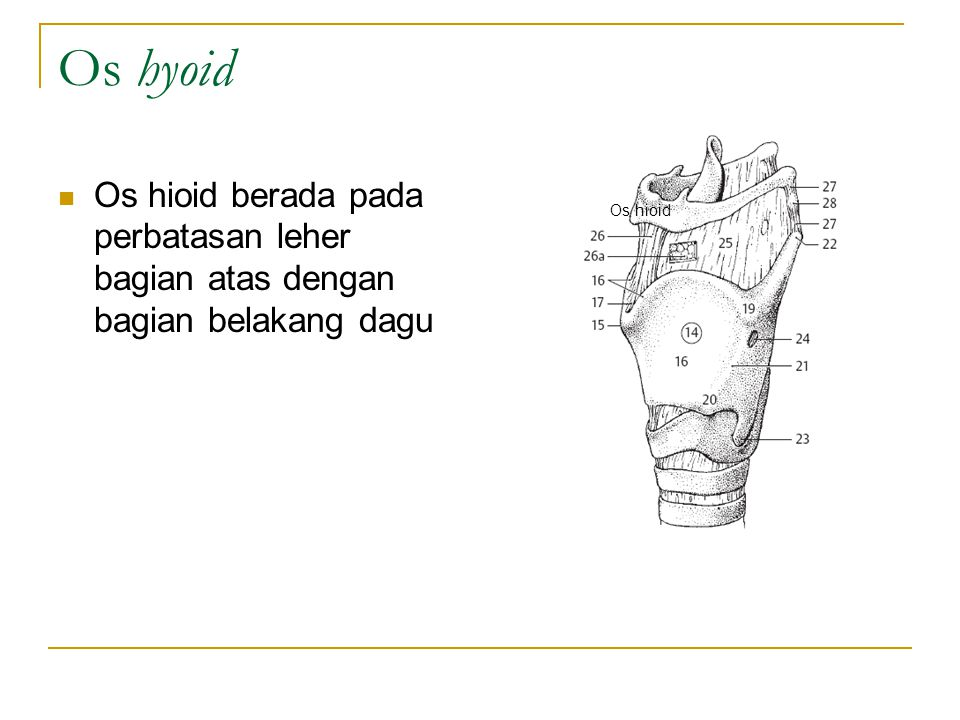 Os hyoid Os hioid berada pada perbatasan leher bagian atas dengan bagian belakang dagu Os hioid