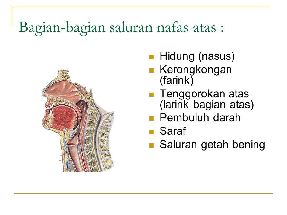 Bagian-bagian saluran nafas atas :