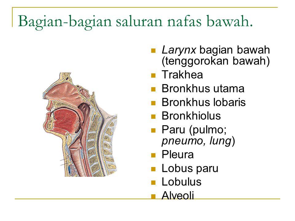 Bagian-bagian saluran nafas bawah.