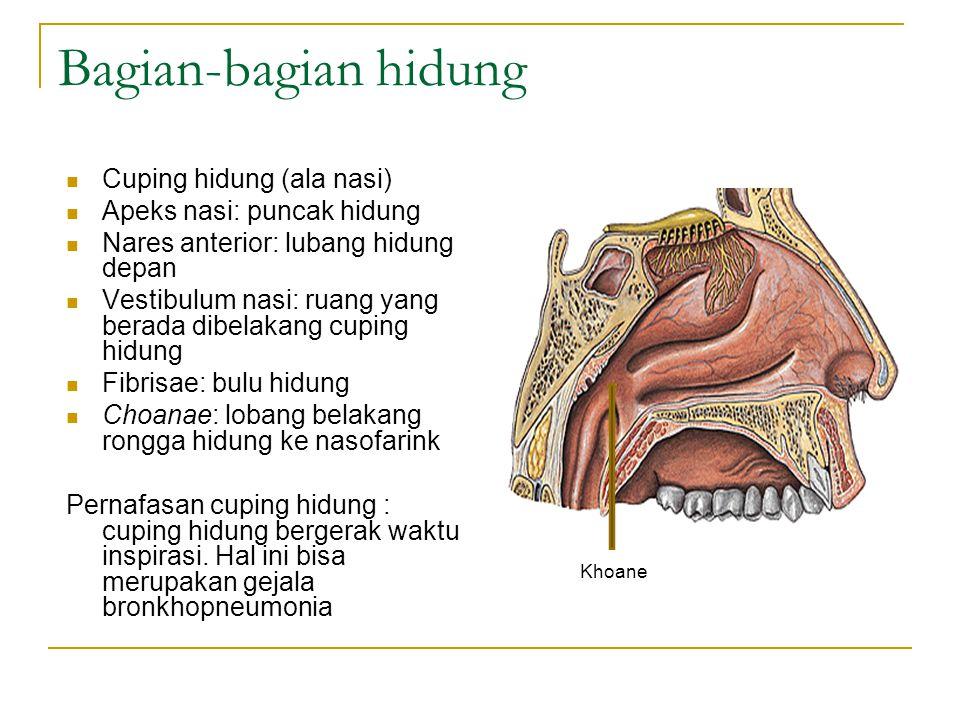 Bagian-bagian hidung Cuping hidung (ala nasi)
