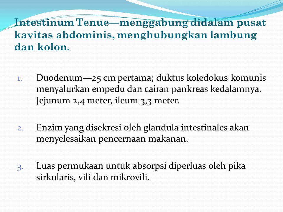 Intestinum Tenue—menggabung didalam pusat kavitas abdominis, menghubungkan lambung dan kolon.