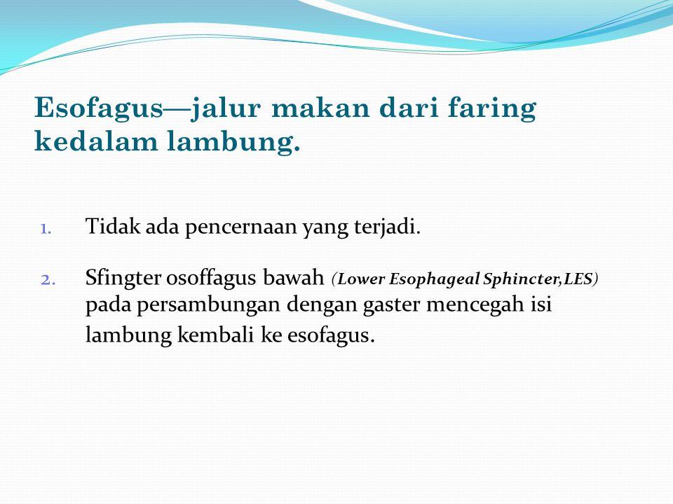 Esofagus—jalur makan dari faring kedalam lambung.