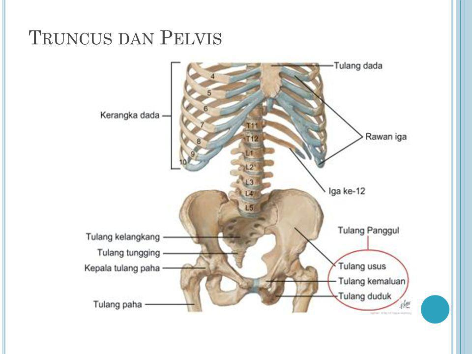 Truncus dan Pelvis