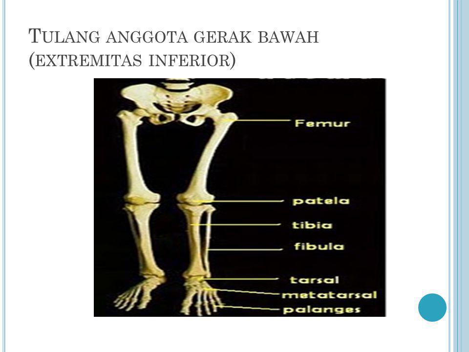 Tulang anggota gerak bawah (extremitas inferior)