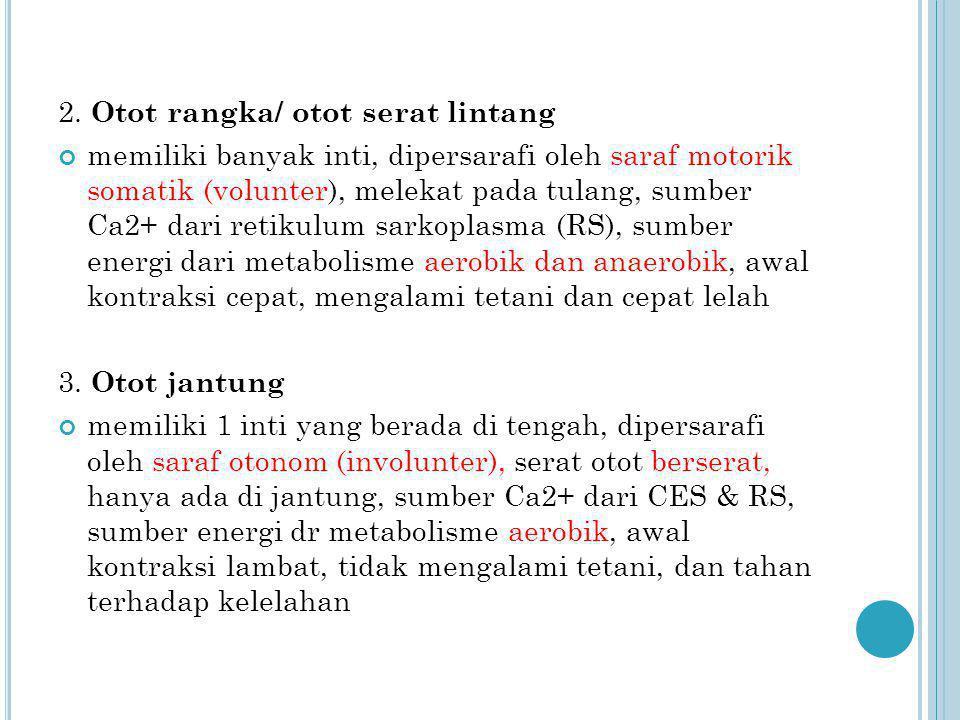 2. Otot rangka/ otot serat lintang
