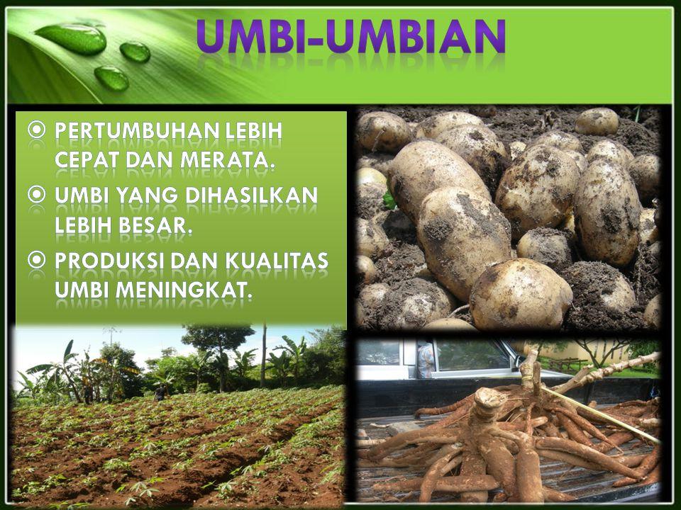 UMBI-UMBIAN Pertumbuhan lebih cepat dan merata.
