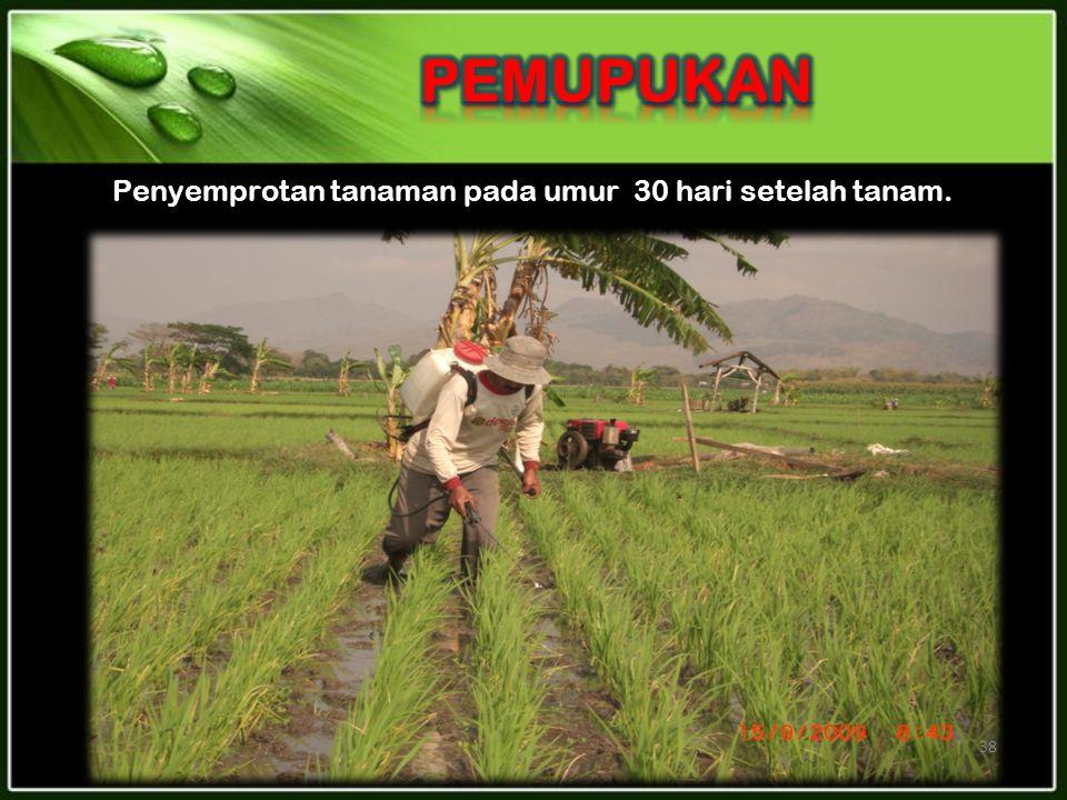 Penyemprotan tanaman pada umur 30 hari setelah tanam.
