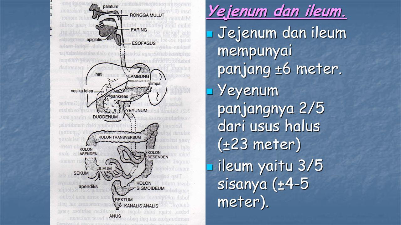 Yejenum dan ileum. Jejenum dan ileum mempunyai panjang ±6 meter. Yeyenum panjangnya 2/5 dari usus halus (±23 meter)