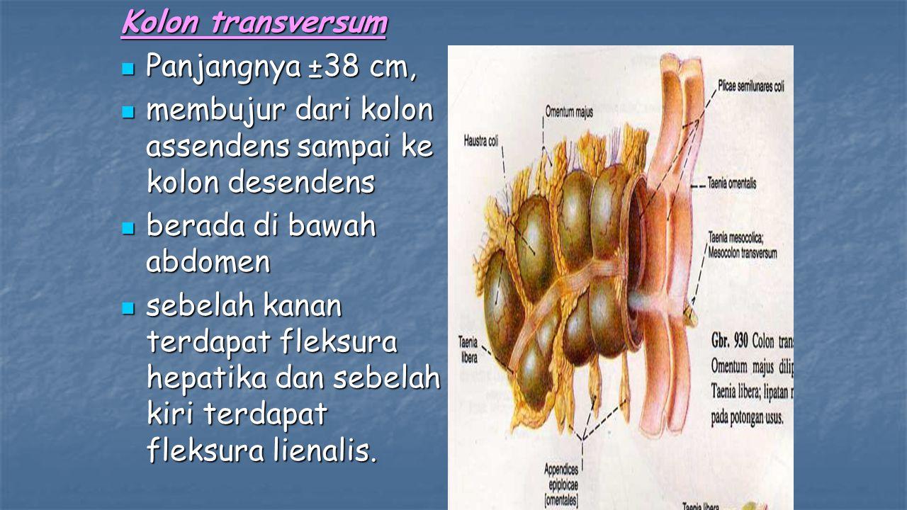 Kolon transversum Panjangnya ±38 cm, membujur dari kolon assendens sampai ke kolon desendens. berada di bawah abdomen.