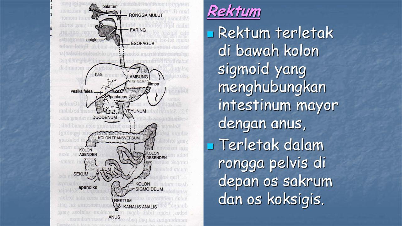 Rektum Rektum terletak di bawah kolon sigmoid yang menghubungkan intestinum mayor dengan anus,