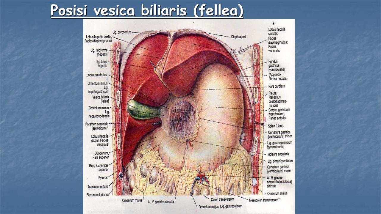 Posisi vesica biliaris (fellea)