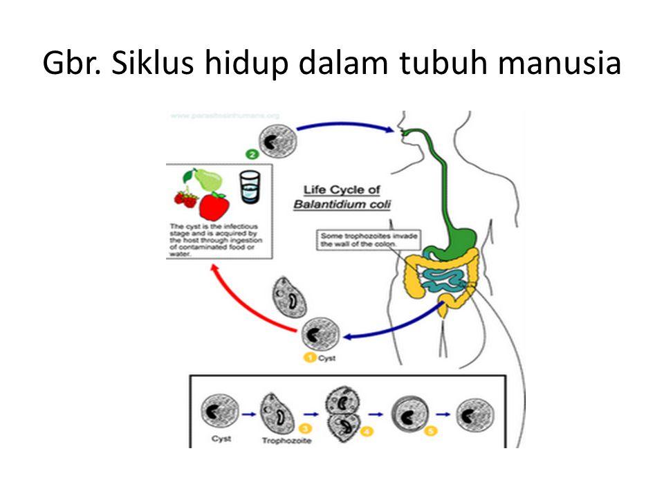 Gbr. Siklus hidup dalam tubuh manusia