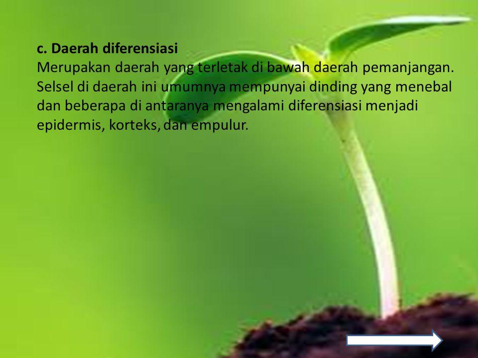 c. Daerah diferensiasi