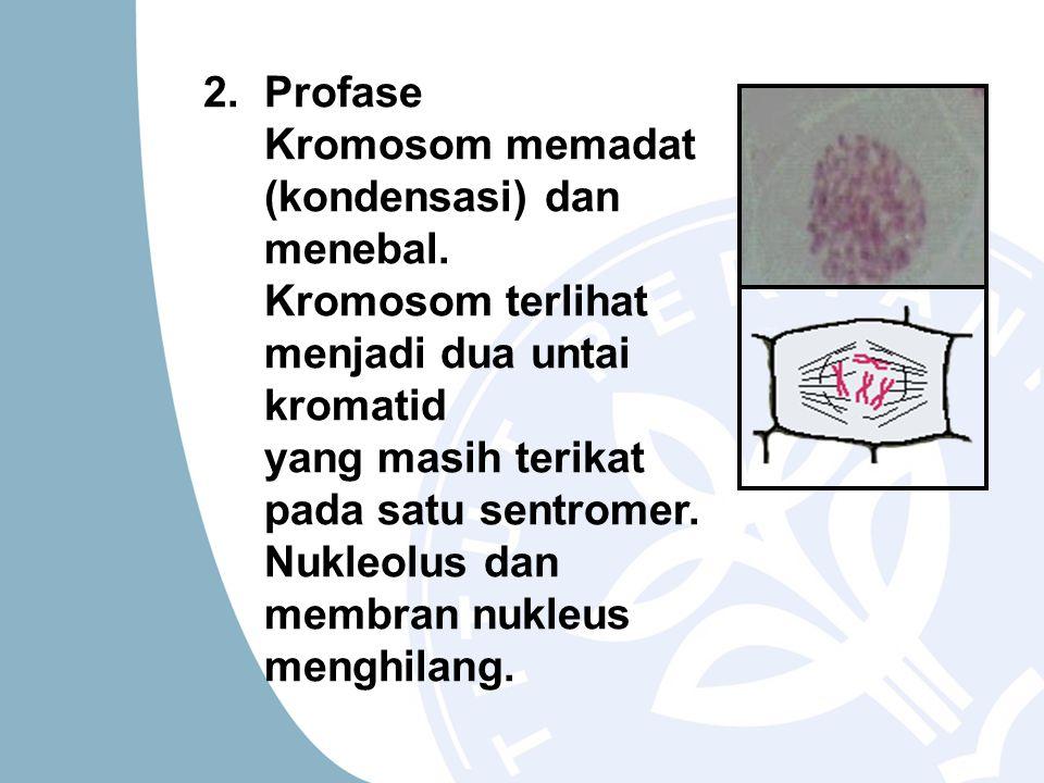 2. Profase Kromosom memadat (kondensasi) dan menebal. Kromosom terlihat menjadi dua untai kromatid.