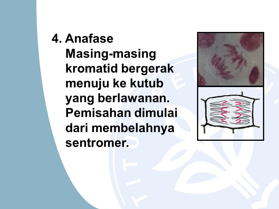 4. Anafase Masing-masing kromatid bergerak menuju ke kutub yang berlawanan.