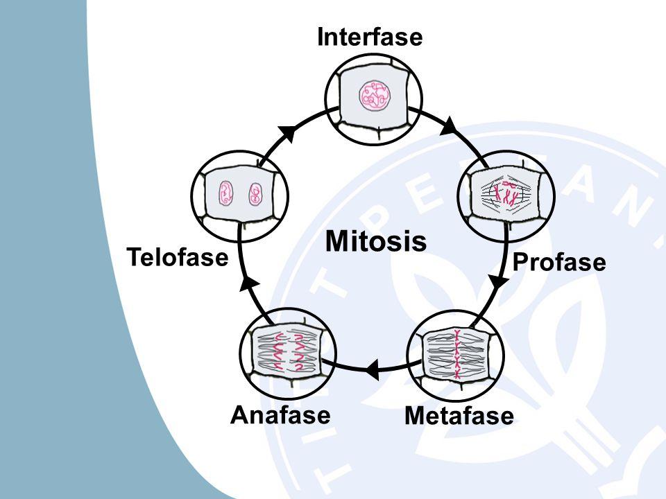 Mitosis Profase Metafase Anafase Telofase Interfase